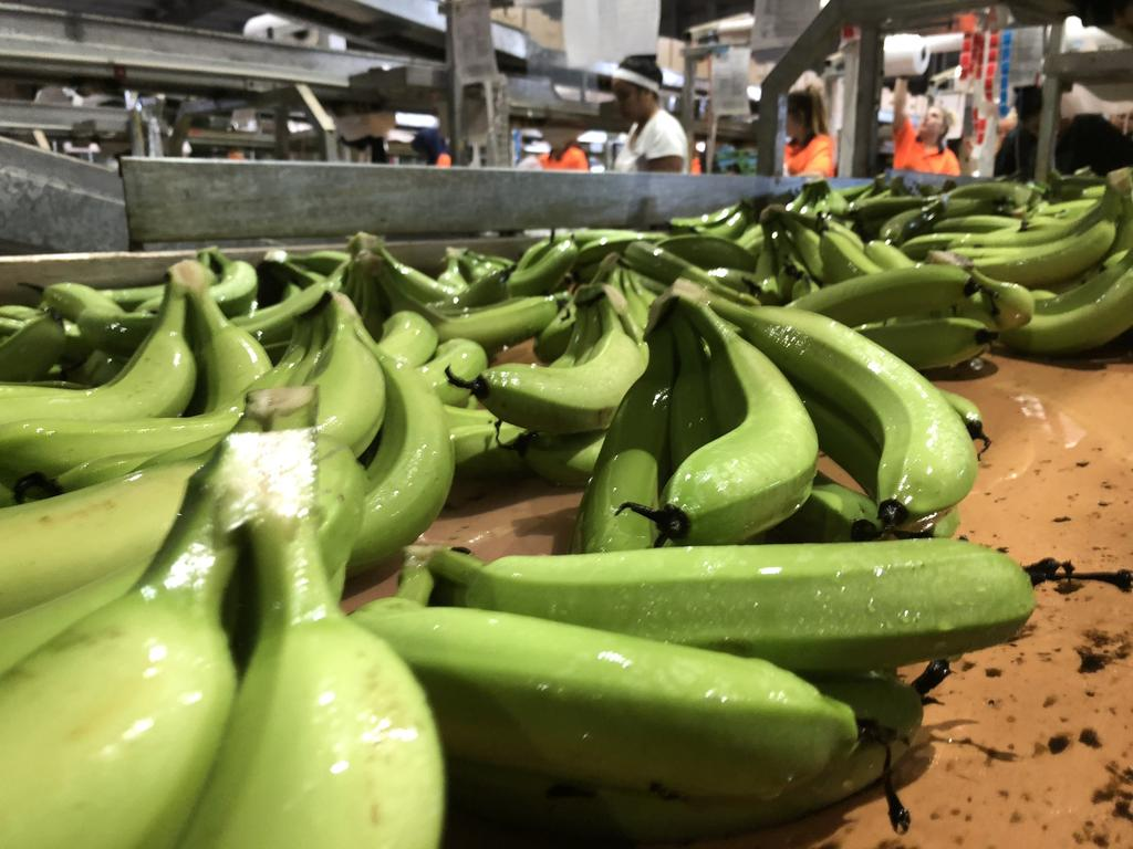 The latest blow to the banana industry comes after years of low prices and critical work shortages during COVID-19. Picture: Rock Ridge Farming