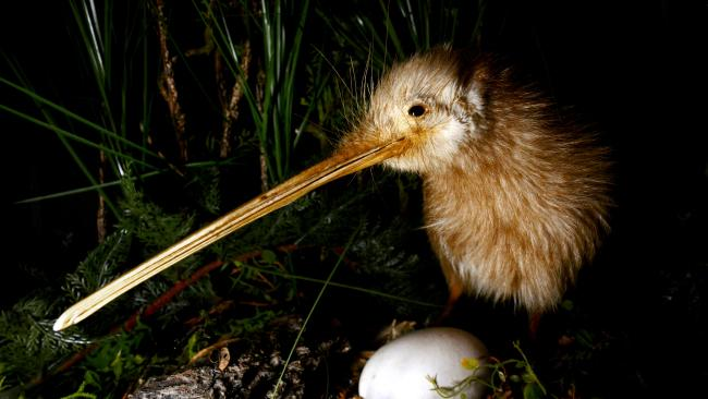 4/13 Appreciate the wildlife from afar New Zealand's native animals like the kiwi bird and wētā are fascinating. It's tempting to try and get up-close but ensure you keep your distance to avoid causing them stress. The wildlife need their space too.