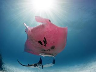 Pink manta ray Inspector Clouseau