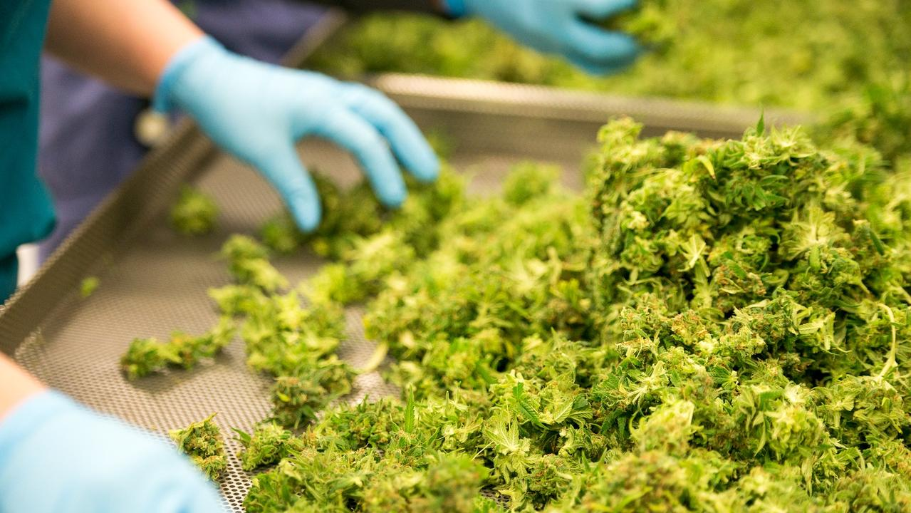 Medicinal cannabis being processed after harvest.
