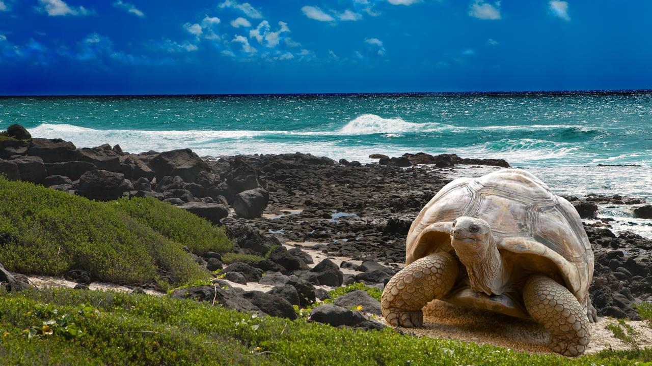 A Galapagos tortoise. Picture: iStock