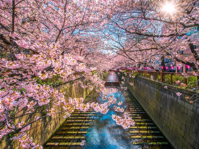 MUST SEE The Meguro river, straddled by cherry trees, is breathtaking in spring but equally regarded for its first-class window dressings, pizza and socialising.                   — Jane Lawson