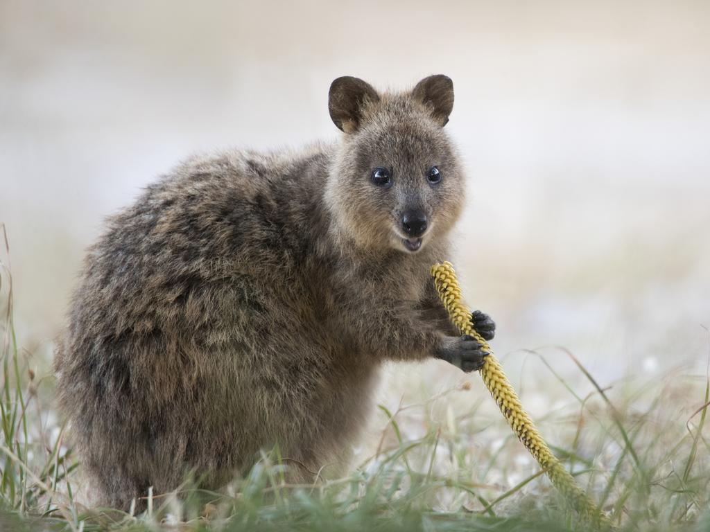 Alex has photographed animals from every continent and found great joy in spending time with Australia's quokkas. Picture: Alex Cearns