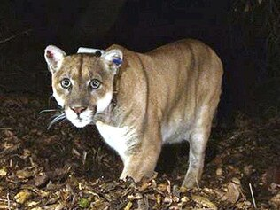 Mountain lion P-22, who lives in Griffith Park, LA, US