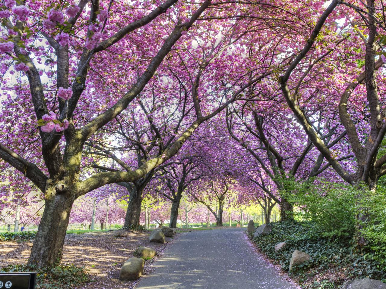 Cherry Walk in Glorious Bloom