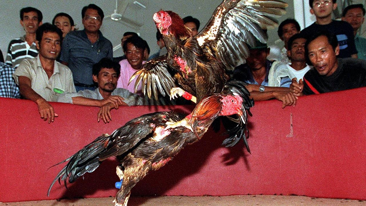 People watch a cockfight at the world's first international cockfighting championships in Chonburi, Thailand.
