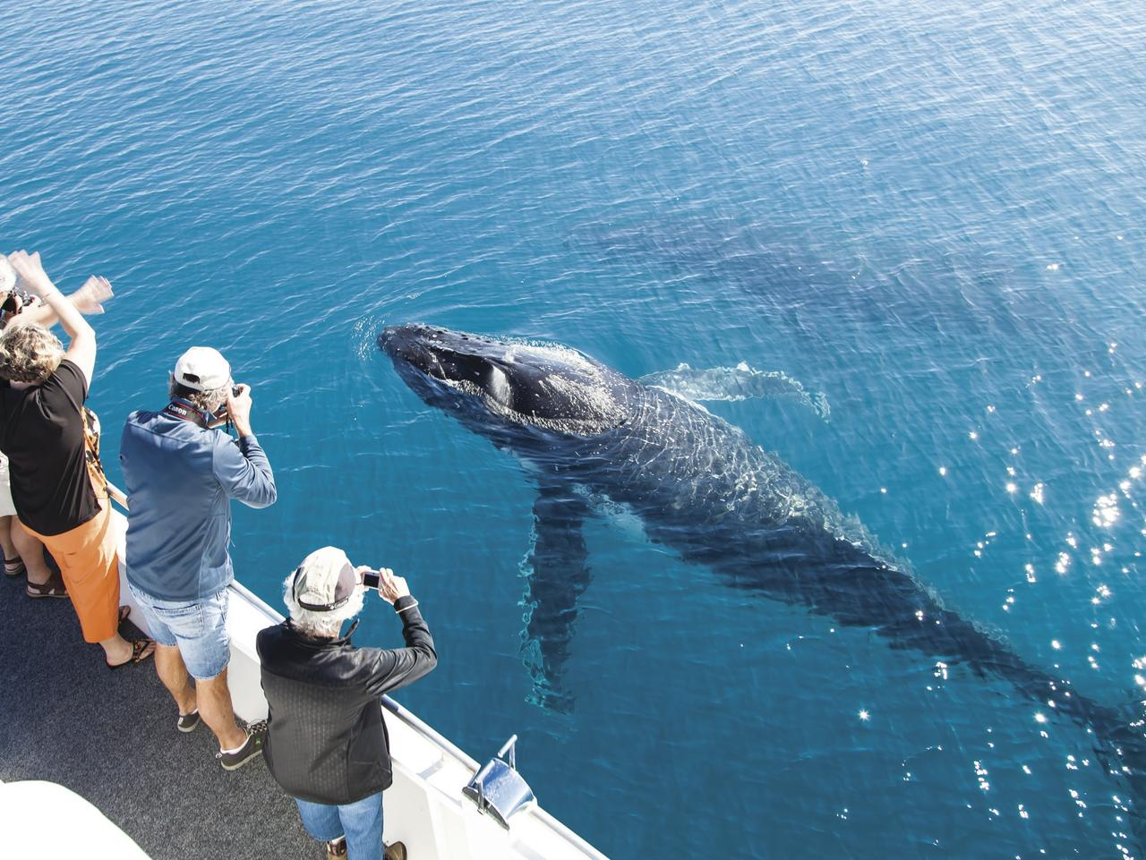 SUNDAY ESCAPE. WHALES. Hervey Bay. Picture: Matthew Taylor / Tourism and Events Queensland