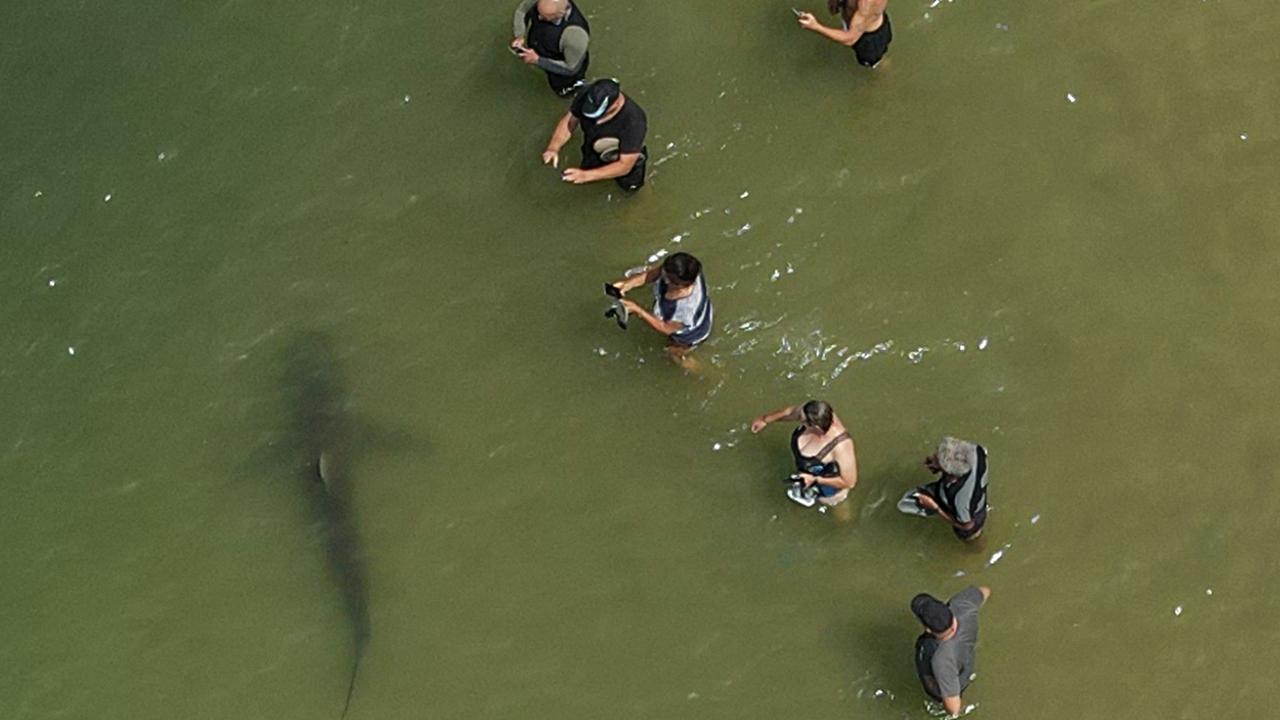 The sharks arrive to swim in warm water outflows from a nearby power plant. Picture: Jack Guez/AFP