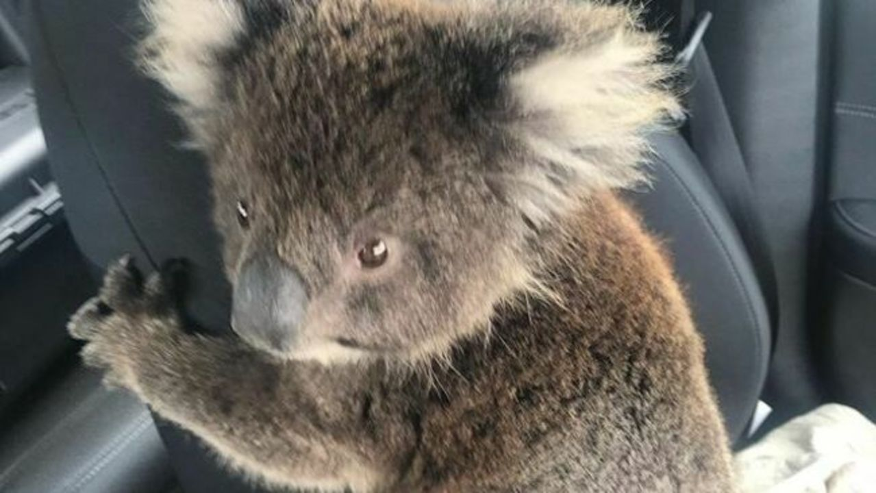 Koala Joey Rescued After Being Found Next to Dead Mum in Fire-Ravaged Kangaroo Island