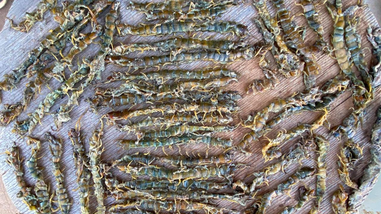 A fox has 62 centipedes in its stomach. Picture: Bush Heritage Australia