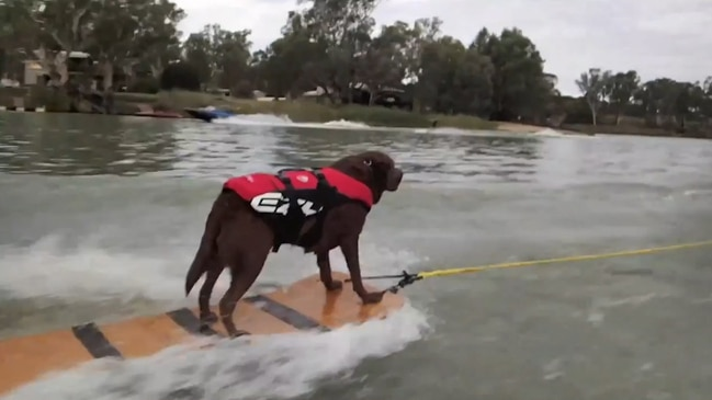 Watch: The dog that skis