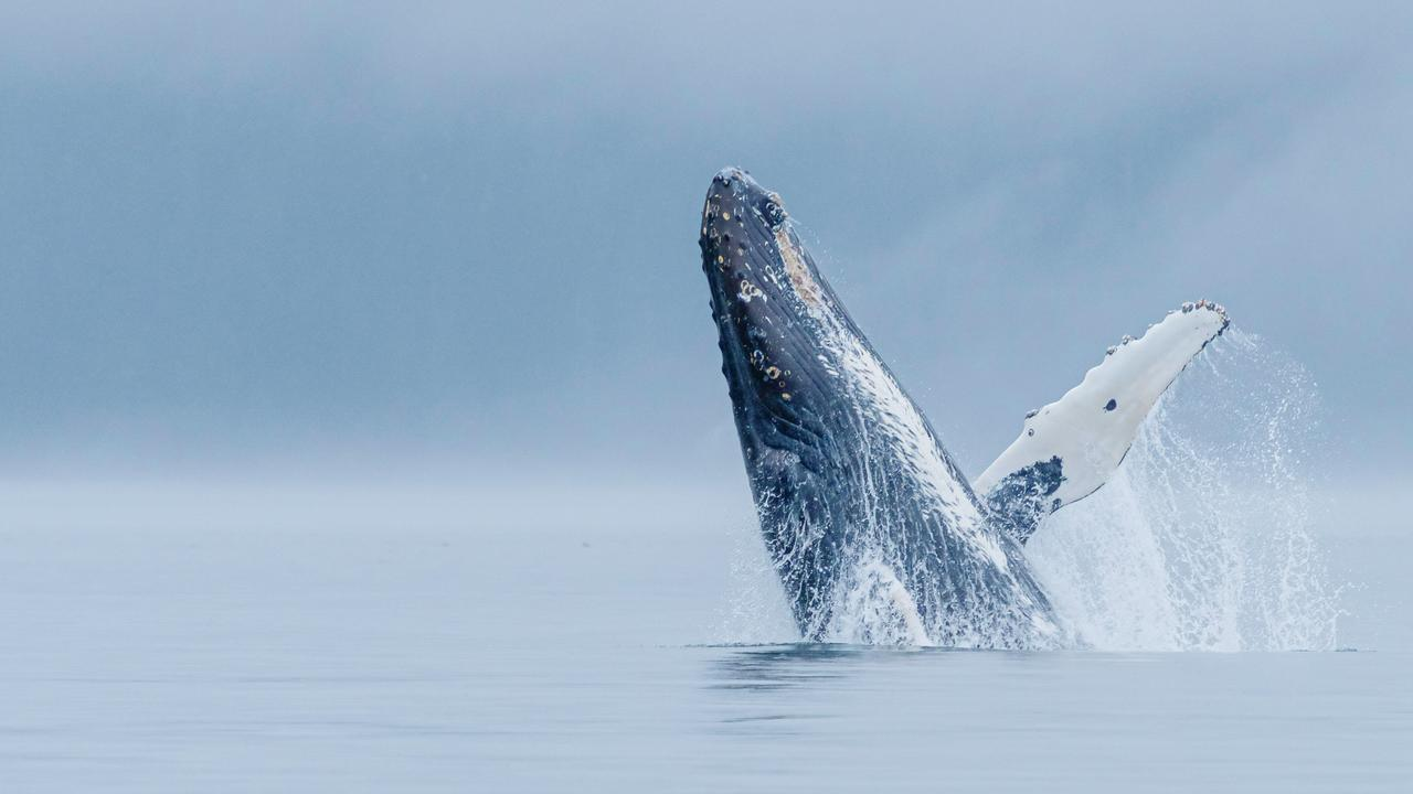 Humpback whale breaching on a foggy morning.