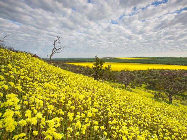 COLOURFUL CONSERVATION In the State's Coral Coast, visitors to Lesueur National Park will find a number of its 900 species starting to flower. Another wildflower hotspot is Coalseam Conservation Park (pictured), famous for its everlastings.