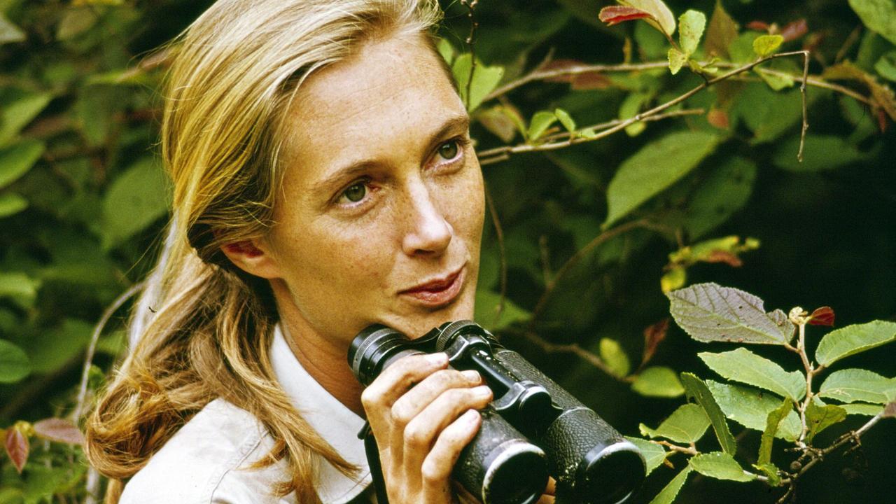 Scientist Jane Goodall in Gombe National Park in 1965.
