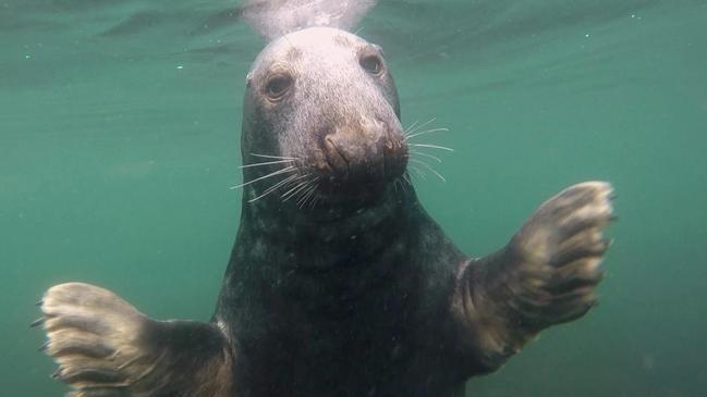 Wild grey seal. Picture: Ben Burville