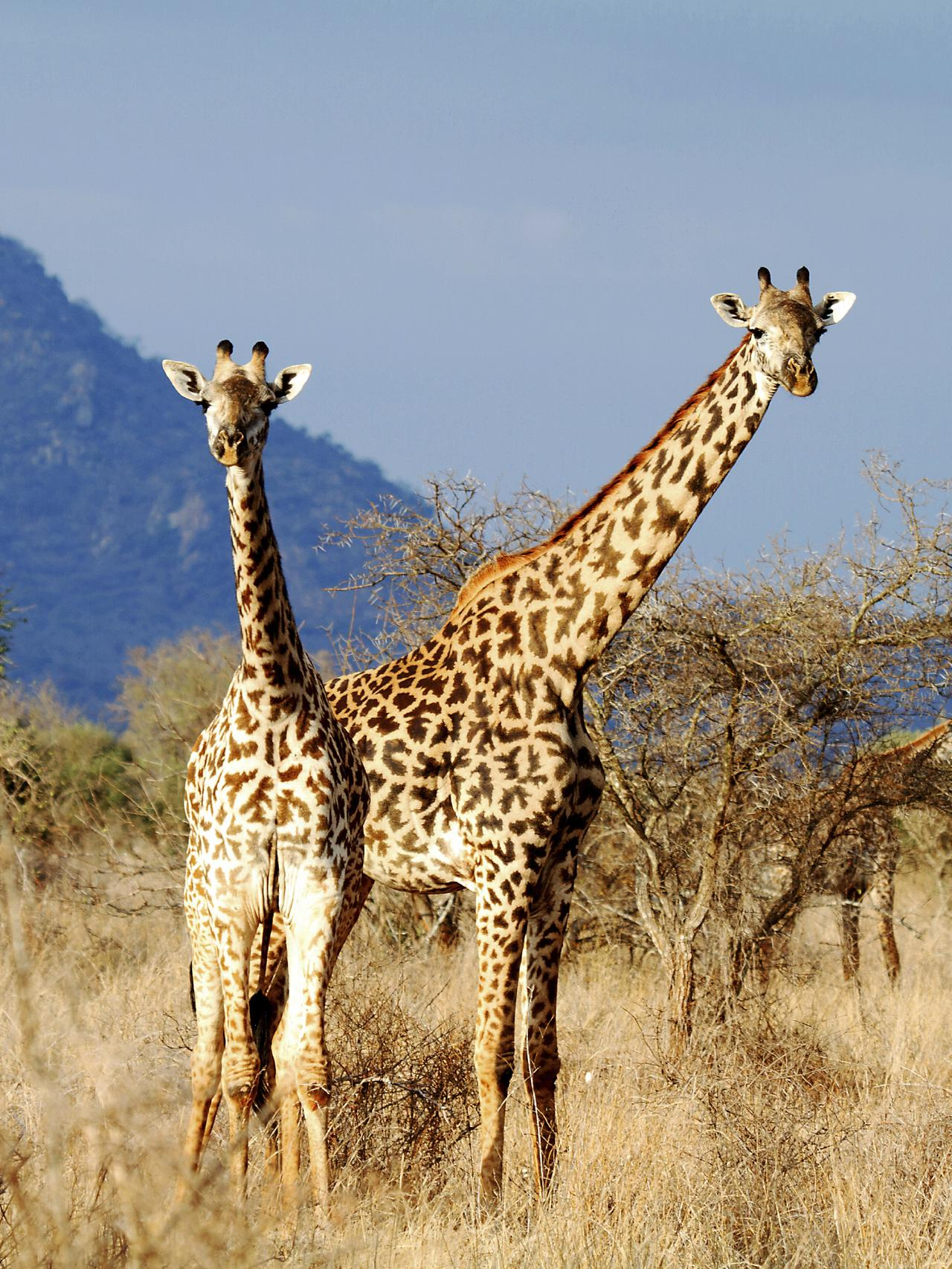 The Masai Giraffe or Maasai Giraffe, also known as the Kilimanjaro Giraffe in Kenya. Picture: iStock