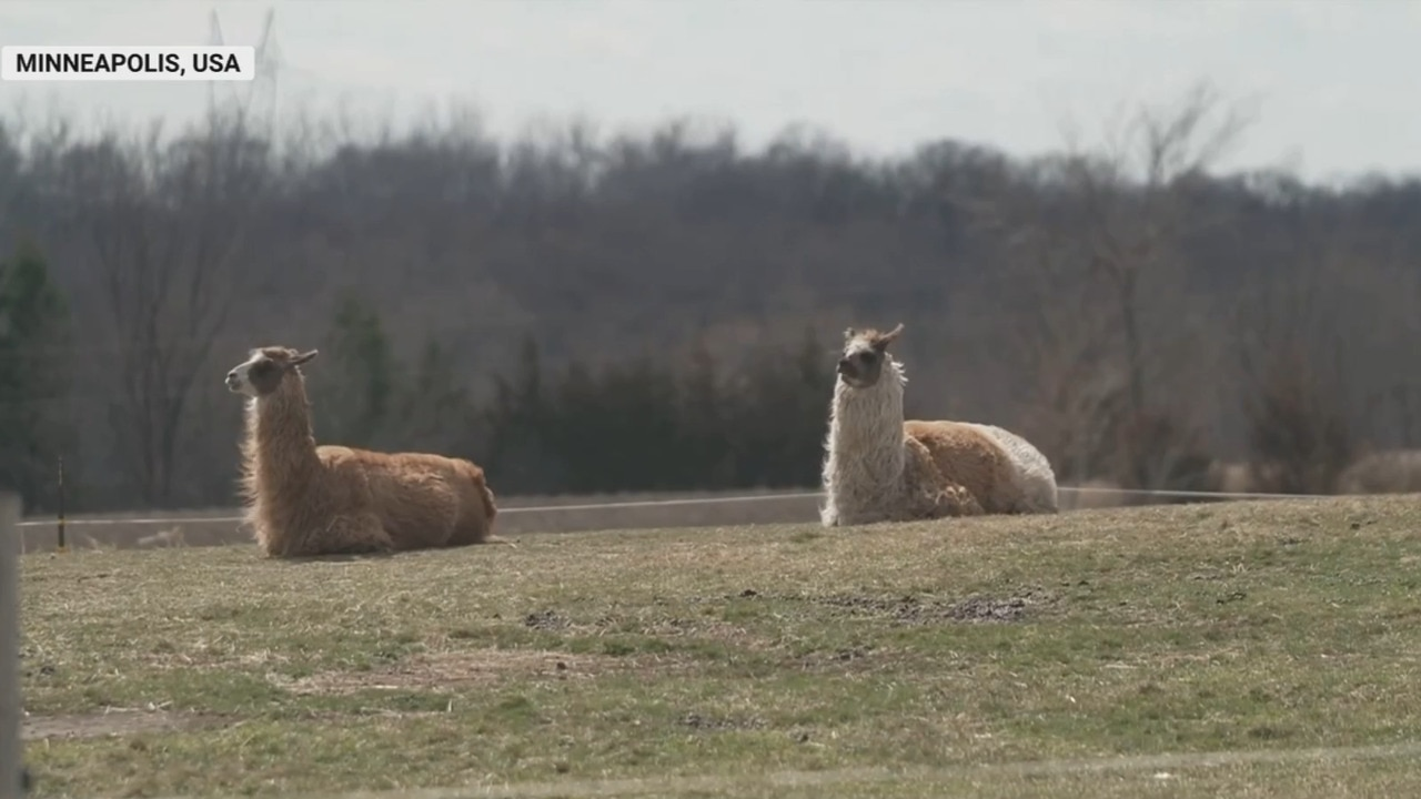 US llama farm surges in popularity during the pandemic