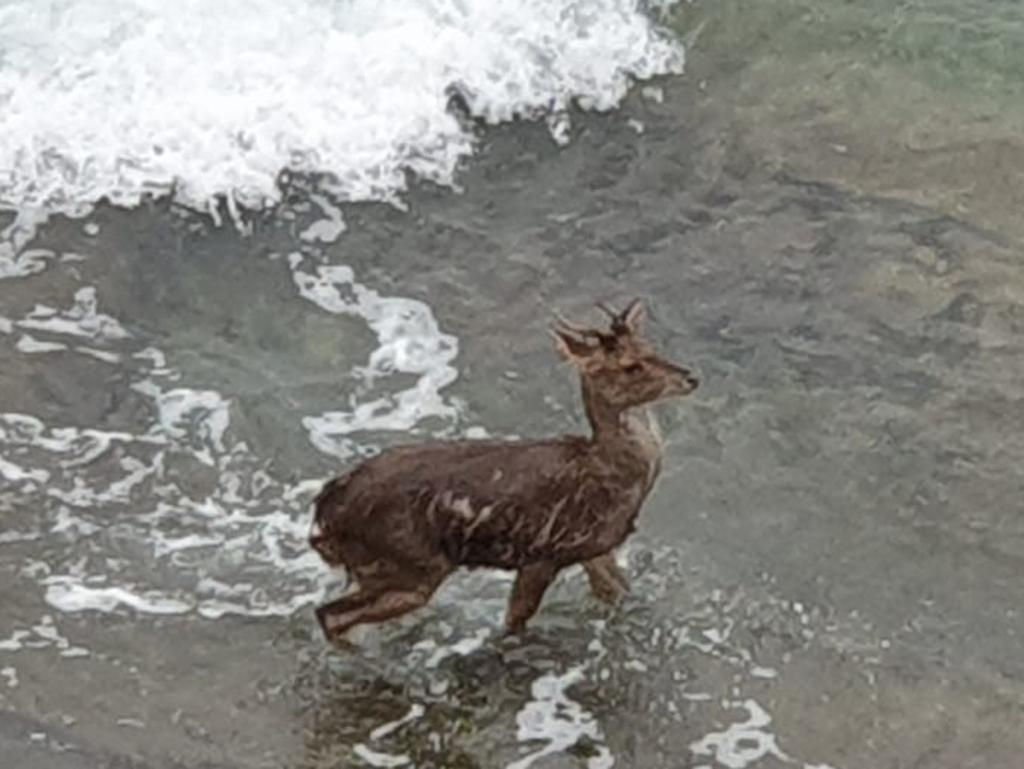 Deer spotted at North Wollongong on July 4. Picture: Karl Runeson.