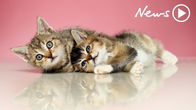 Cute kittens play for the importance of pet microchipping