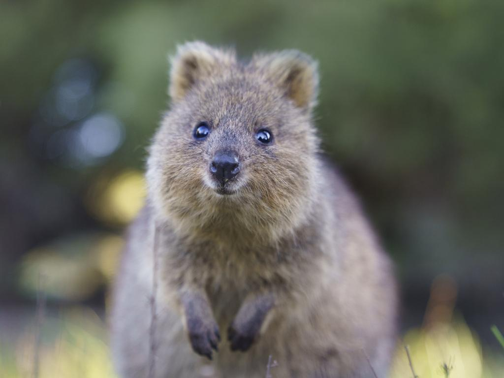 Award-winning Aussie photographer Alex Cearns has been travelling to Rottnest Island to photograph quokkas for her upcoming book. Picture: Alex Cearns