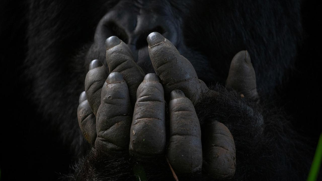 Italian photographer Valentino Morgante's image called 'Hands' was taken in Bwindi Impenetrable National Park in Uganda. Picture: Valentino Morgante Africa Geographic Photographer of the Year 2021