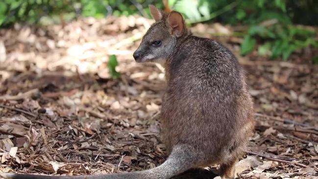 Aussie Ark breeds their first endangered Parma wallaby