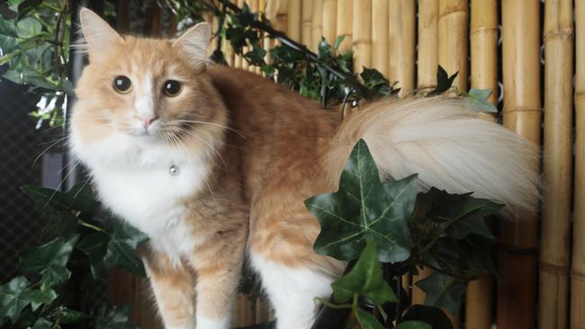 Henry the Cat enjoying his stay at the Hobbits Knob Cat Retreat at Chevallum in the Sunshine Coast hinterland. Picture: Lachie Millard