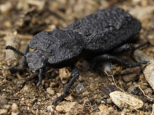 This 2016 photo provided by the University of California, Irvine, shows a diabolical ironclad beetle, which can withstand being crushed by forces almost 40,000 times its body weight and are native to desert habitats in Southern California. Scientists say the armor of the seemingly indestructible beetle could offer clues for designing stronger planes and buildings. In a study published Wednesday, Oct. 21, 2020, in the journal Nature, a group of scientists explains why the beetle is so squash-resistant. (Jesus Rivera, Kisailus Biomimetics and Nanostructured Materials Lab, University of California Irvine via AP)