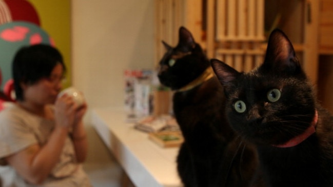 A customer drinks coffee among black cats at the Black Cat Cafe in Japan. Picture: Getty.