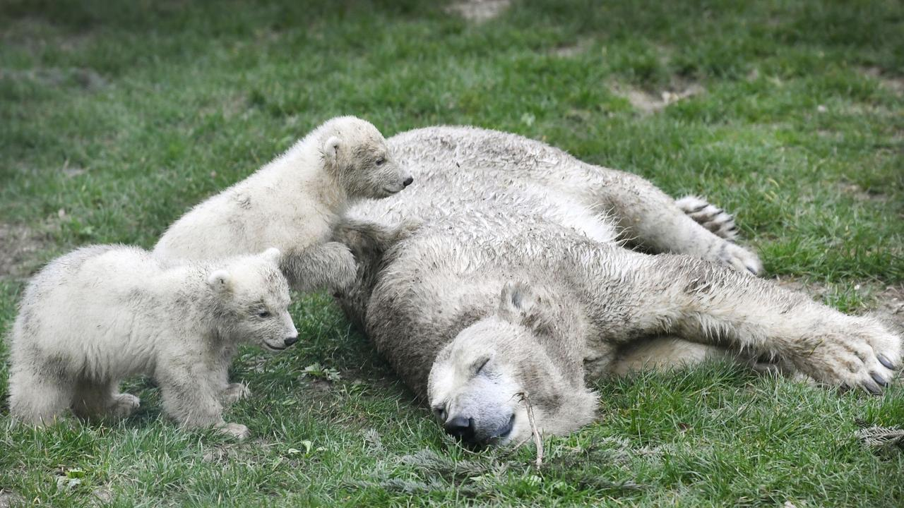 Mother bear has a snooze while the cubs explore their surroundings on March 19, 2020 at Ouwehands Zoo, Germany. Picture: AFP