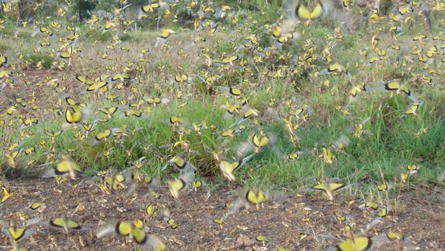 A yellow-winged locust swarm in Chartes Towers back in 2006.