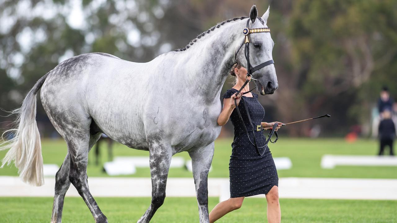 Chautauqua Show Horse Debut.