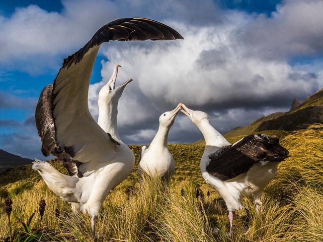 2017 Australian Geographic Nature Photographer of the Year competition: Animal Behaviour Runner-up: The rehearsal, Southern royal albatross (Diomedea epomophora), Jason Hosking (NZ) A southern royal albatross (Diomedea epomophora), with its wings unfurled, practises 'sky calling', while two others clap bills. This behaviour is part of a complex courtship rehearsal performed by groups of up to a dozen young pre-breeding birds who advertise for partners using a complex repertoire of signals known as gaming.