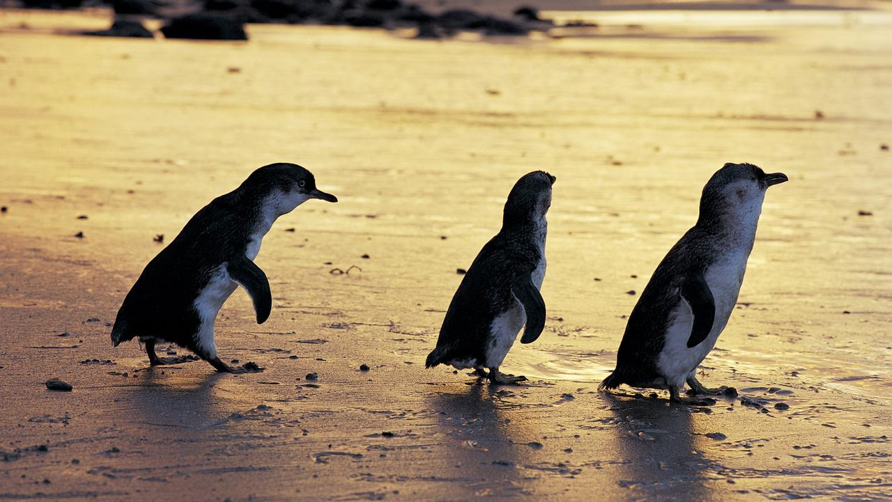 Supplied Travel FEBRUARY 16 2014 VIC DEALS Get up close to the penguins on Phillip Island
