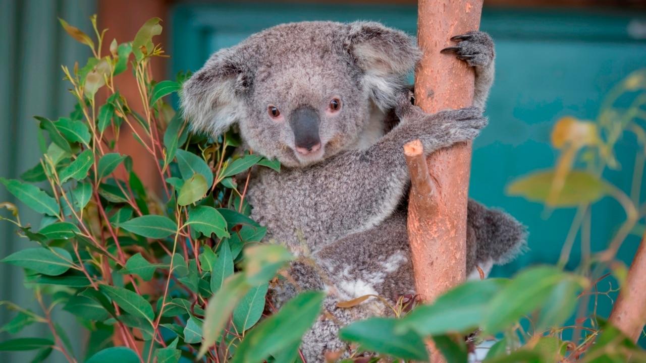 Koalas face extinction after bushfire crisis