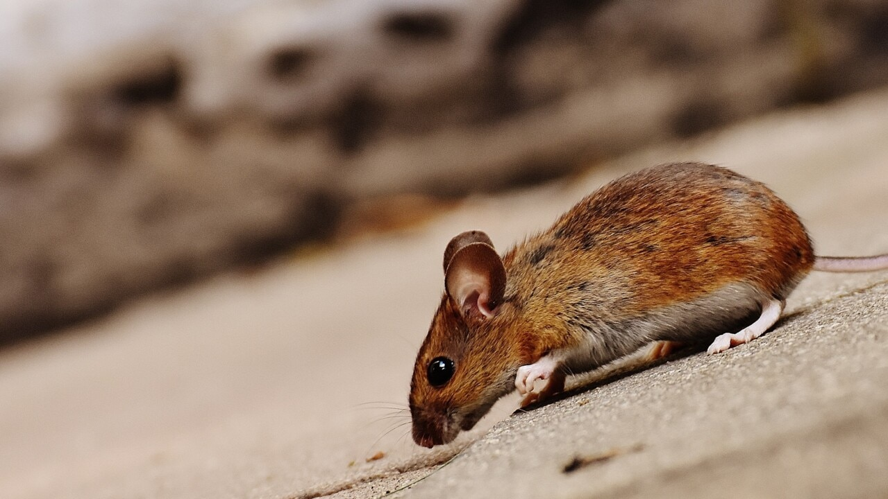 Mice plague worsens in New South Wales
