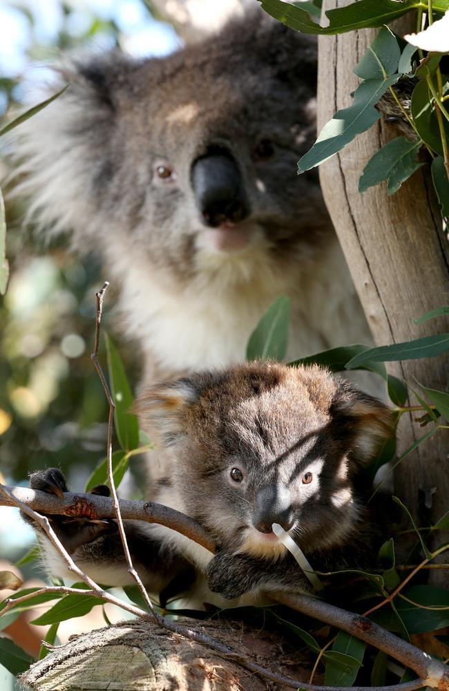 Koalas are facing a battle against extinction in southeast Queensland. Picture: Calum Robertson