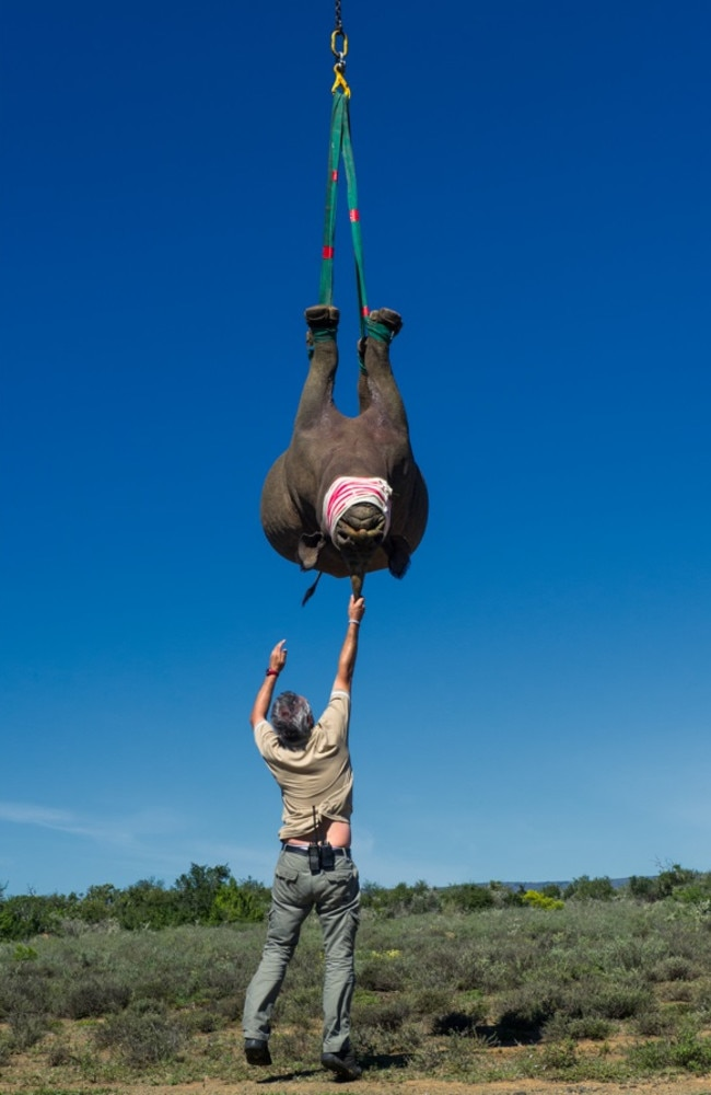 In attempts to protect rhino populations, conservationists have tried dehorning (to try to make rhinos less desirable to poachers), translocation (moving rhinos, including upside-down via helicopter). Picture: Australscope