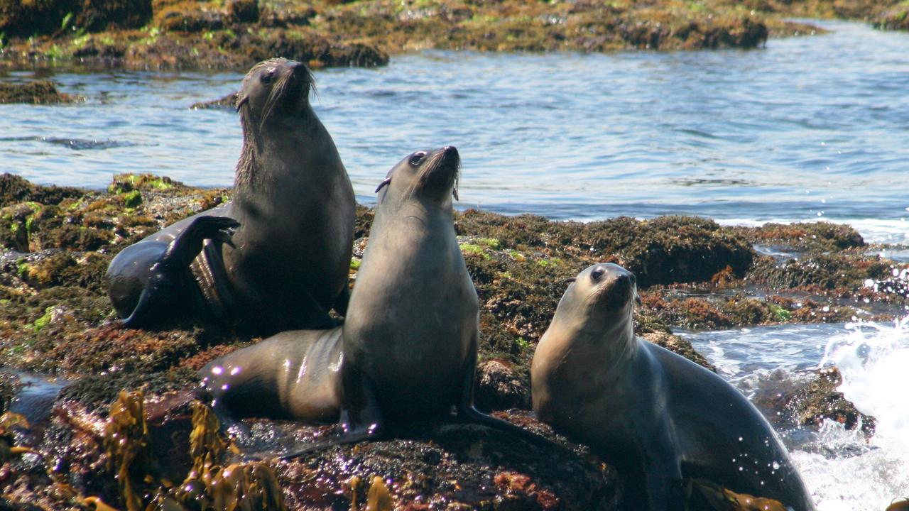 Fur seals at Phillip Island, Victoria