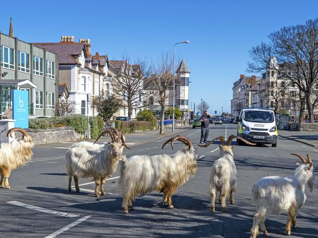 WALES, UK A herd of goats in the seaside town of Llandudno, North Wales, don't care for road rules. Picture: PA via AP