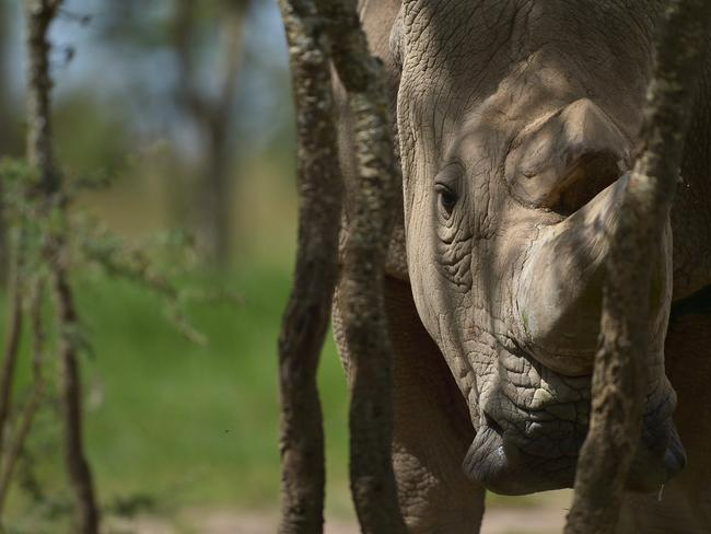 Sudan in his enclosure at the Ol Pejeta conservancy in Laikipia County — at the foot of Mount Kenya. Picture: AFP/Tony Karumba
