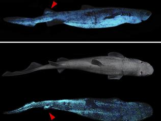 Lateral and dorsal luminescent pattern of Dalatias licha. (A) Lateral daylight view and luminescent pattern highlighting the dorso-ventral luminous pattern. (B) Dorsal daylight view and luminescent pattern. Luminescence of the second dorsal fin is observable on this specimen (red arrowhead). Scale bar: 10 cm.