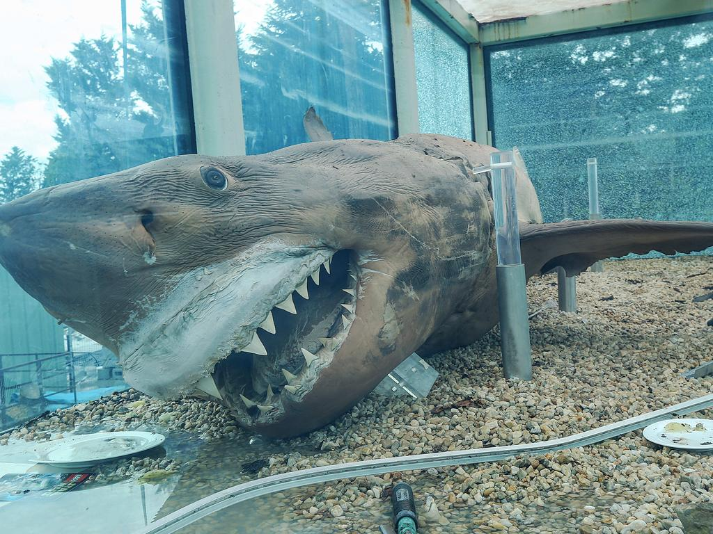 With the tank drained, the shark is moved to its new home. Picture: Ian Currie