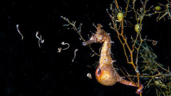 17/42Minamata Bay, Japan A himetatsu seahorse release babies from its pouch in Minamata Bay in the Kumamoto Prefecture of Japan. Picture: Mayumi Takeuchi-Ebbins/Ocean Art 2020
