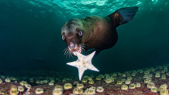 1/42Hornby Island, Canada A young steller sea lion plays with a starfish and seems to be showing it off to the camera at Norris Rocks off Hornby Island, Canada. Picture: Celia Kujala/Ocean Art 2020