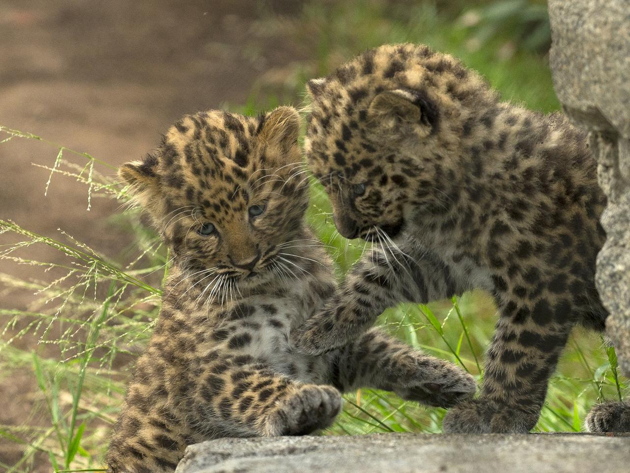 For the First Time, Rare Amur Leopard Cubs Born at the San Diego Zoo