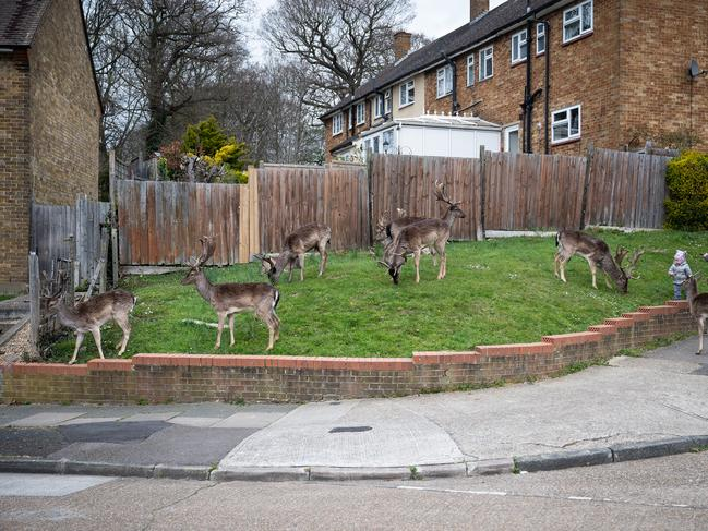 ROMFORD, ENGLAND Fallow deer from nearby Dagnam Park help themselves to some grass within a housing estate in Harold Hill, near Romford. Picture: Getty