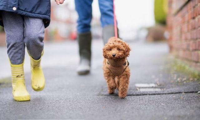 What you need to know before buying a Cavoodle