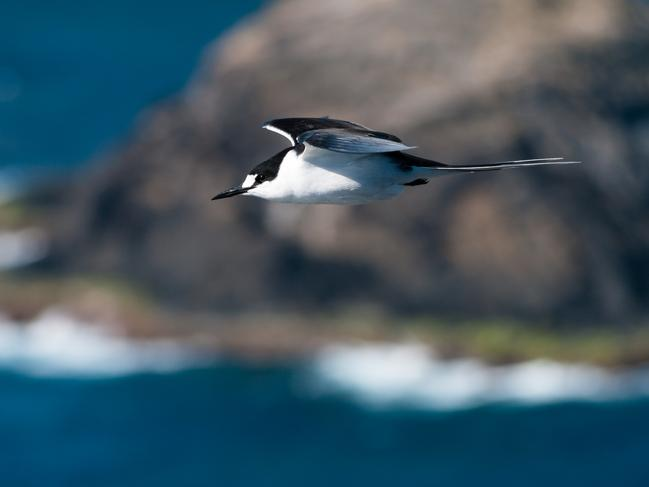 MUST SEE The Lord Howe Island Group (consisting of Lord Howe Island, Admiralty Islands, Mutton Bird Islands, and Ball's Pyramid) are home to a large number of native plants, many endemic to Lord Howe Island. Colonies of endangered seabirds also live on the islands, including the Sooty Tern (pictured).
