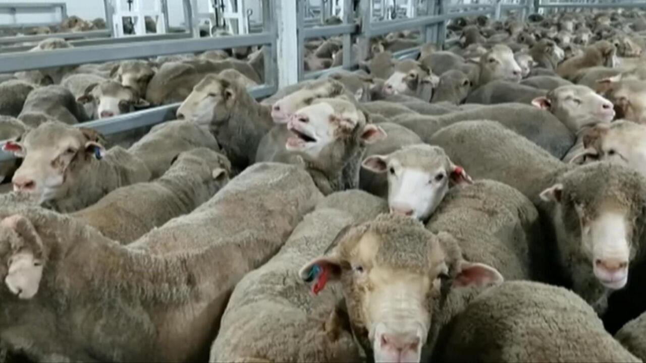 Ship filled with suffocating sheep rouses calls to end live animal exports